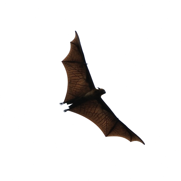 Bat removal service | Get bats out of your home attic or barn. Our team of experts understand the hazards of having bats intruding your personal property. Get to know why we are the leading bat removal company near you.