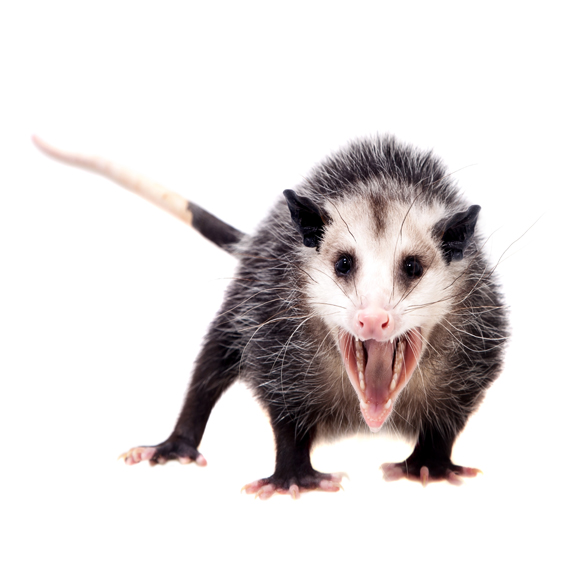 Opossums are very commonly found in homes with crawl spaces. Opossums beneath mobile homes are now becoming more common for them to have babies. Removal of these wild animals can be very difficult and experts like us can help you.