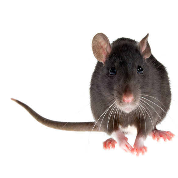 Rodent control in orange county. removal of rats in my attic. how to get rid of unwanted animals from attics of a home? We are a full service company specializing in rodent removal, we will control and clean up feces that are harmful to humans. if you are looking to get rid of mice at your home, we are the pest control company that can and will help you.