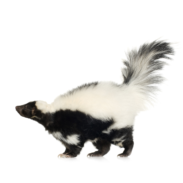 Skunks removal service.  A Teams Services Inc is a full service company providing trapping and pest control service.